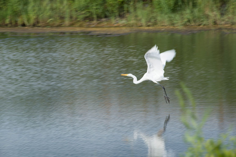 white heron flying over wetlands