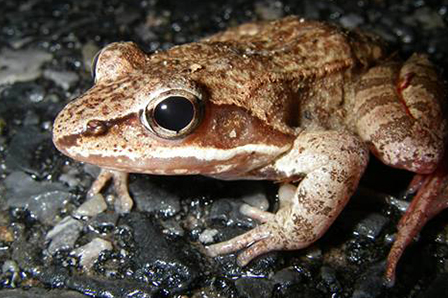 chirping frog sound